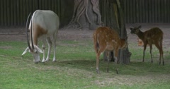Two Female Deers ana Goat Are Feeding Stock Footage