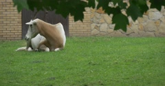 Single Scimitar-Horned Oryx is Lying on Meadow, Building Stock Footage