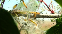 Young caterpillars in the nest, 4k,ultra hd,uhd Stock Footage