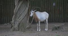 Scimitar-Horned Oryx Under The Tree is Chewing, Female Deer, Doe Stock Footage