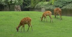 Doe,Three Female Deers are grazing Stock Footage