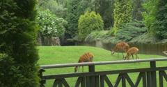Doe,Three Female Deers In Paddock Stock Footage