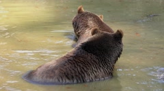 4K footage of two Brown Bears (Ursus arctos) in a small pond Stock Footage