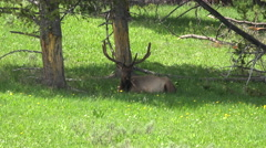 Bull Elk large antlers resting in shade of pine trees 4K Stock Footage