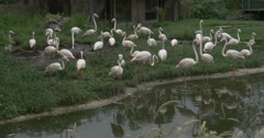 Flamingos Flock Walking by the The Pond And Meadow Stock Footage