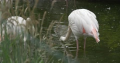 White Flamingos, Pink Wings, on The Pond Closeup, Blurred Foreground, Ripple Stock Footage