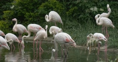 Flamingos Group Are Shaking Heads,Catching Fish on The Pond Stock Footage