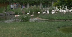 People Are Looking at Light Pink Flamingos, Birds,on The Pond And Meadow Stock Footage