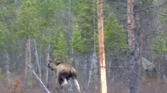 Moose wild animal in the forest Stock Footage