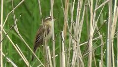 A male Sedge Warbler is singing while sitting in the grass - stock footage