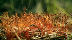 The raining on the moss. Sporophytes Stock Footage