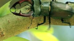 The Stag beetle. Lucanus cervus Stock Footage