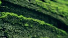 The tree fungus. Polyporus squamosus Stock Footage