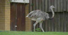 Walking Ostrich, Bushes, Meadow Stock Footage