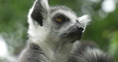 Two Lemurs Turning Heads, Yellow Eyes, Closeup Stock Footage