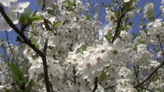 Beautiful agriculture blossoming apple tree in  orchard garden Stock Footage