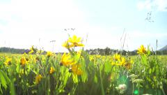 Sunflower field on Sunny Day Background Stock Footage