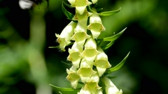 Big-flowered foxglove, Digitalis grandiflora Stock Footage