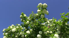 Beautiful viburnum blossoms on sky background Stock Footage