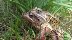 Pair two frogs on grass in spring Stock Footage
