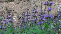 Beautiful sage (Salvia officinalis) medical plant blossoms  near  barn wall Stock Footage