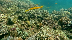 Trumpetfish (Aulostomus chinensis) swimming underwater in the Bali Sea. Stock Footage