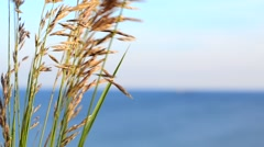 Grass with spikelets grow over the sea - stock footage