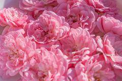 pink lovely roses in a soft background - stock photo