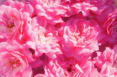 Pink lovely roses in a soft background Stock Photos