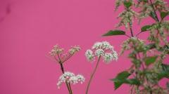 White Umbelliferae Closeup And Saltbush Stock Footage