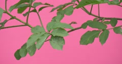 Branch of Green Plant Extendind to The Left, Fluttering Leaves Stock Footage