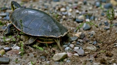 Painted Turtle Finishing covering eggs Stock Footage