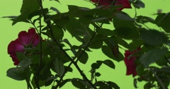 Rose Bush Closeup With Red Flowers Stock Footage
