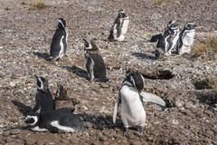 Magellanic Penguins at Natural protected area Punta Tombo, Chubut, Patagonia, - stock photo