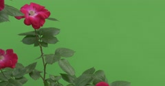 Red Roses on Rose Bush, Blossomed, Fluttering - stock footage