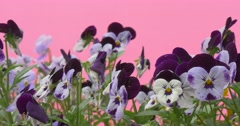 Blue And Violet Viola Tricolor,Heartseases, Flowerbed Stock Footage