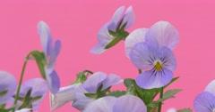 Light Blue Viola Tricolor,Bush of Heartseases, Flowers, Closeup Stock Footage