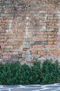 Texture of creeper over brick wall. Green wall. Stock Photos