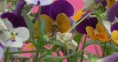 Bee on Viola Tricolor, Heartsease, Flowers Stock Footage