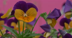 Violet and Yellow Viola Tricolor, Heartsease, Flowers, Closeup Stock Footage