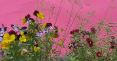 Red and Yellow Viola Tricolor, Heartsease, Flowers, Windgrass, Apera Stock Footage