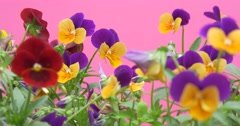 Viola Tricolor, Heartsease, Flowers, Blurred Stock Footage