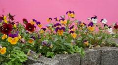 Violas Tricolor, Heartseases, Flowers on Flower Bed, Flutter Stock Footage