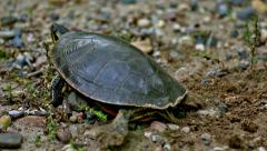 Painted Turtle Covering Eggs Stock Footage