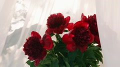 Bouquet of peonies on the background of white curtains Stock Footage