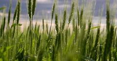 Field of Ears of Corn 4K Stock Footage