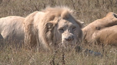 White lion close-up Stock Footage