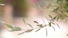 Olive Tree Brunch with Green Olives Stock Footage