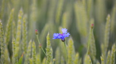 Cornflower Centaurea cyanus growing on farmland on the island Gotland Stock Footage