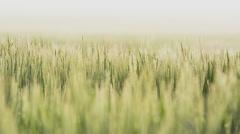 Farmland with Barley, Hordeum vulgar L  during a foggy sunrise Stock Footage